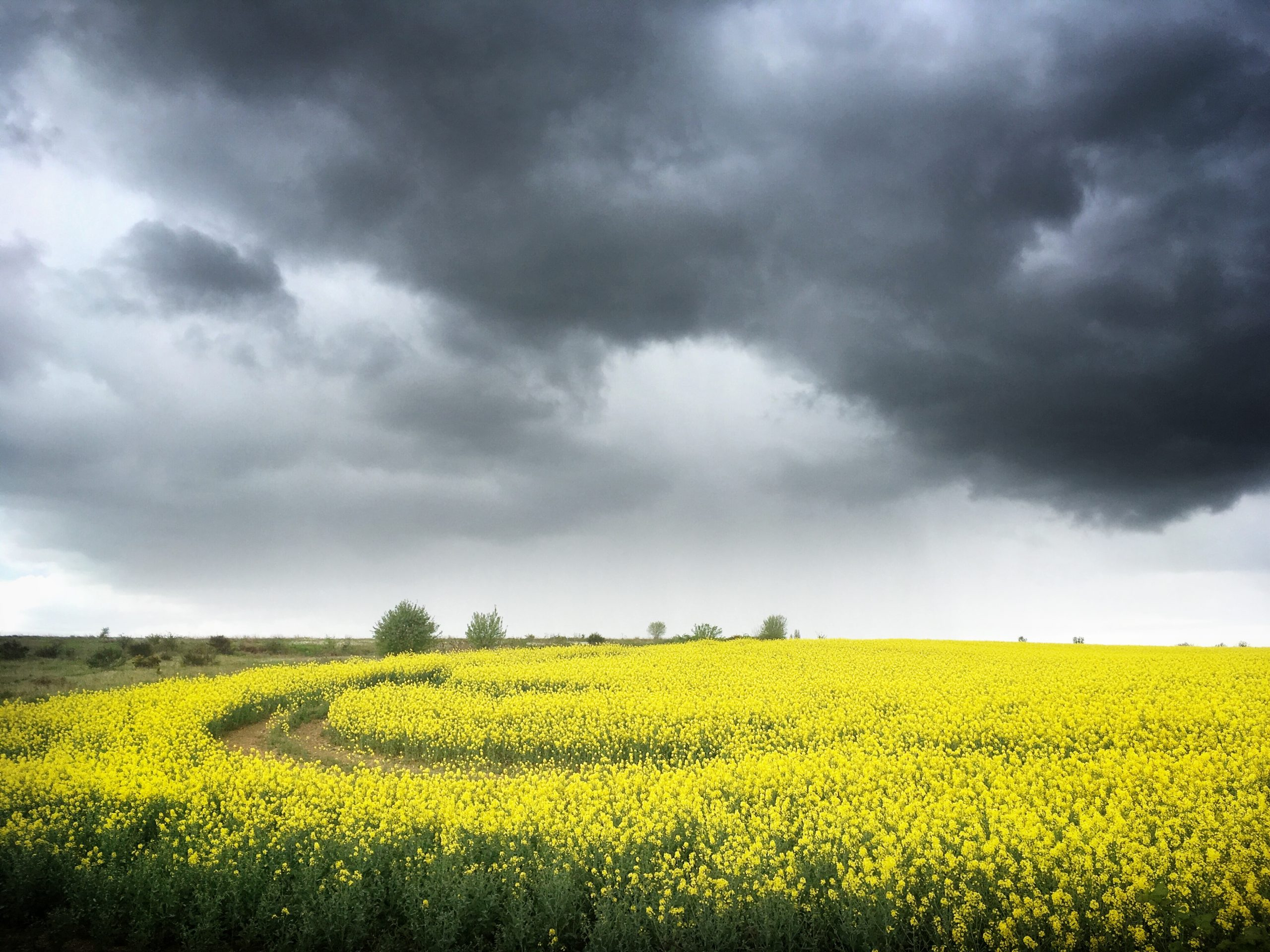yellow fields with stormy skies